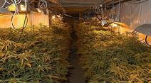 300 Hanf-Pflanzen beschlagnahmt.