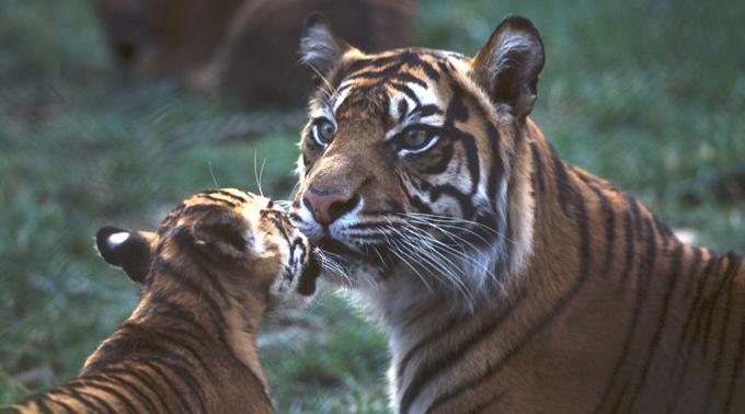 Um den Tiger zu stoppen, erschoss der Direktor des Zoos das Tier.